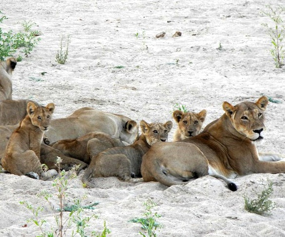 Lions in Ruaha, Tanzania - small crop