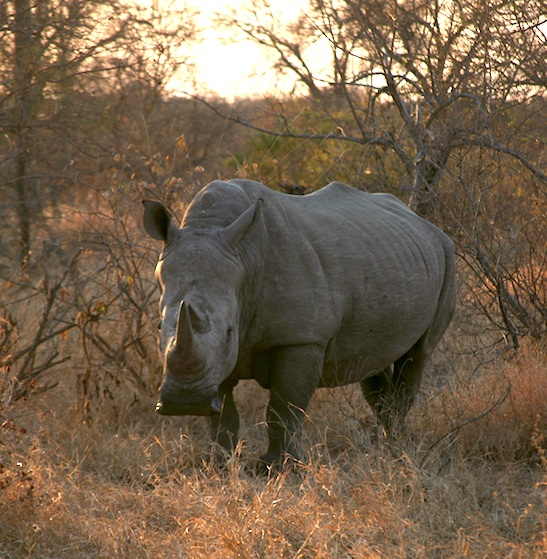 Rhino - South Africa - Elephant Action League